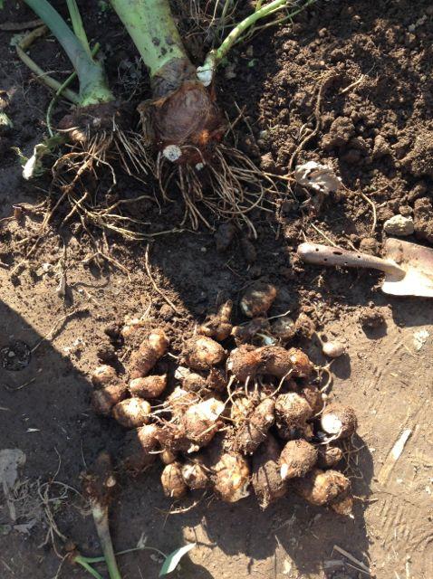 12:9・里芋収穫