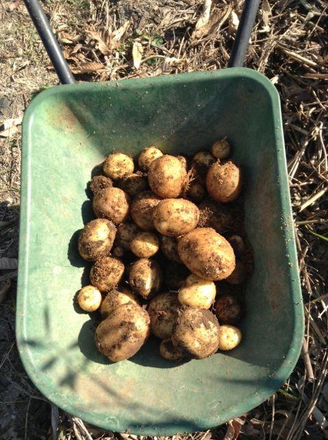 12:9・ジャガイモ収穫