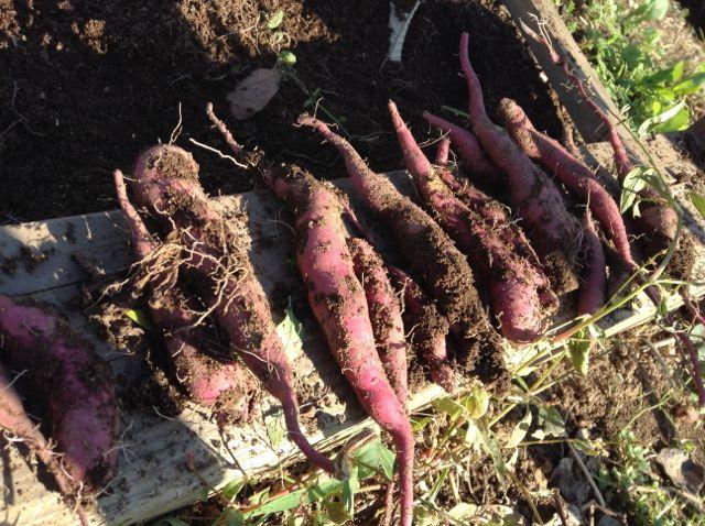 12:9・サツマイモ収穫