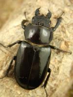 クロアシミヤマ原名亜種38