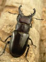 クロアシミヤマ南部亜種42