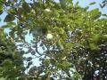随分大きくなった柿の実。