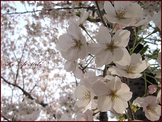 見上げても桜.jpg