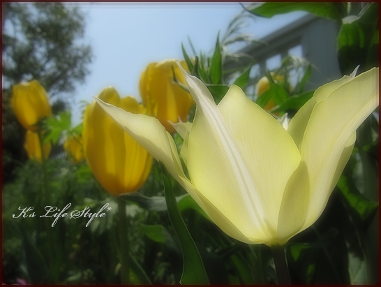 春の日差しに透ける花びら.jpg