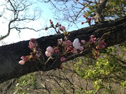 3212013大空山桜S1