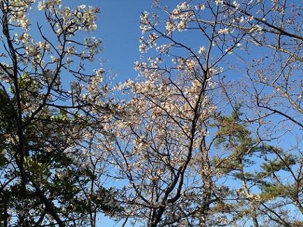 3212013大空山桜S3