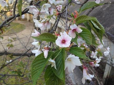 4082013大空山桜S1