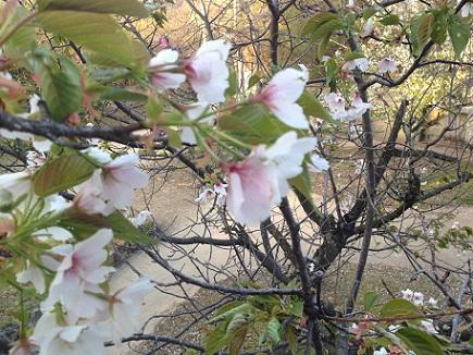 4082013大空山桜S3