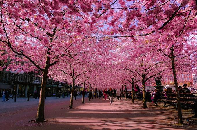 cherry-blossoms-sakura-spring-1.jpg