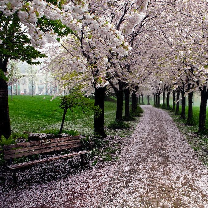 cherry-blossoms-sakura-spring-12.jpg
