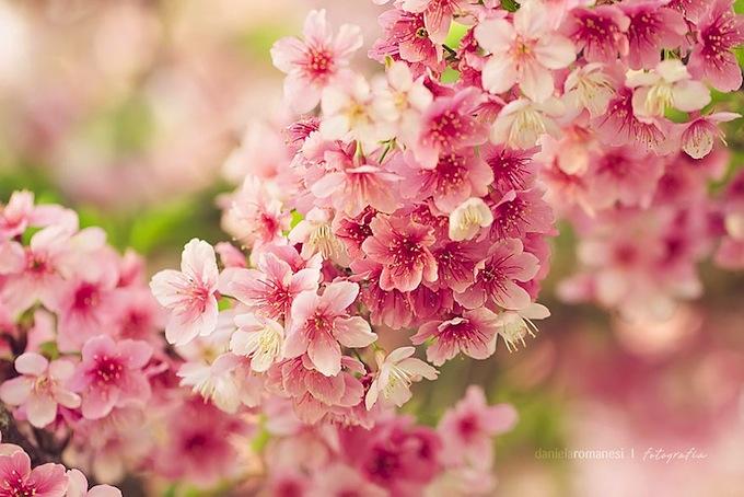 cherry-blossoms-sakura-spring-14.jpg