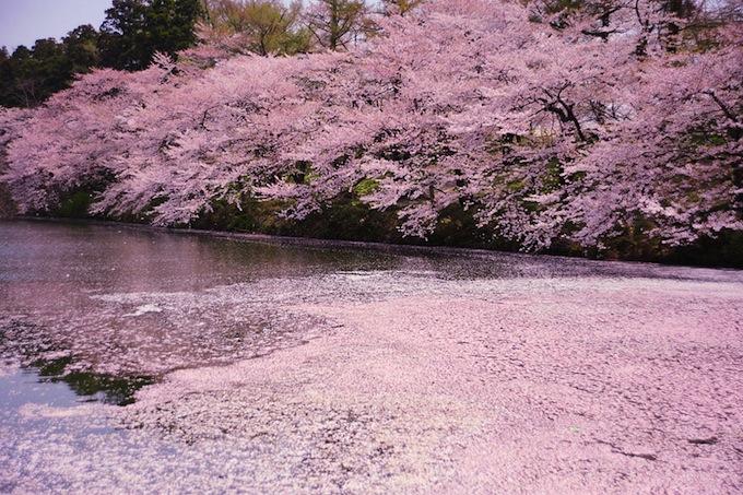cherry-blossoms-sakura-spring-15.jpg