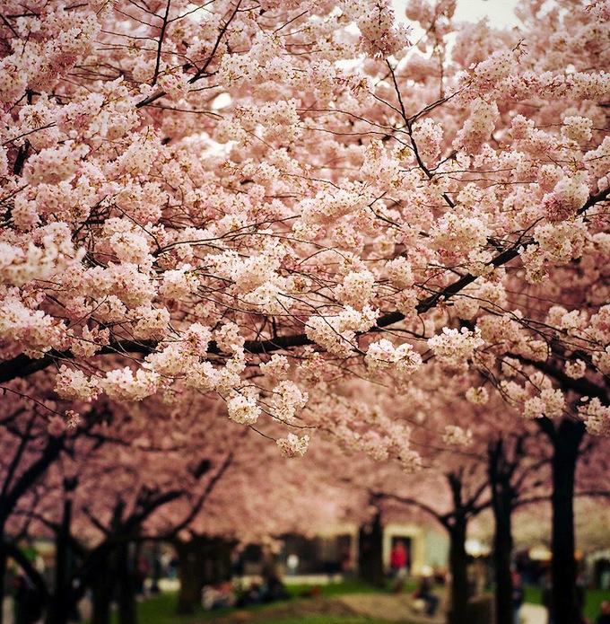 cherry-blossoms-sakura-spring-17.jpg