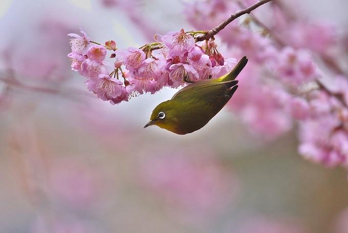 cherry-blossoms-sakura-spring-19.jpg