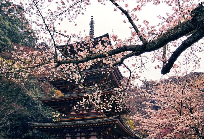 cherry-blossoms-sakura-spring-2.jpg