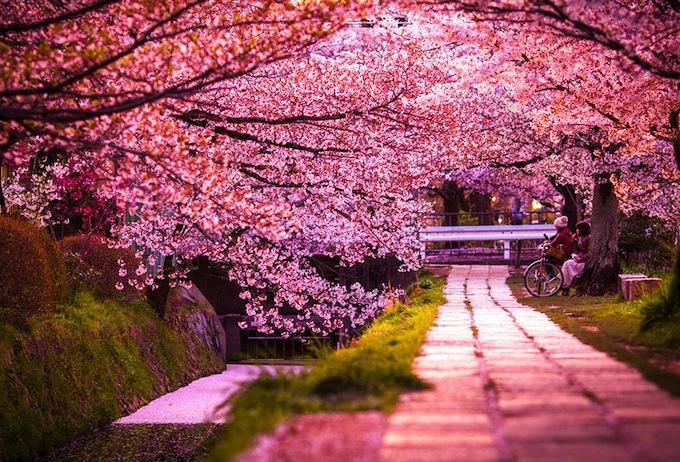 cherry-blossoms-sakura-spring-4.jpg