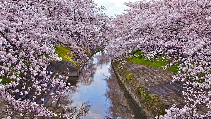 cherry-blossoms-sakura-spring-8.jpg