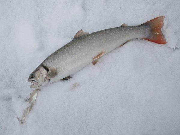 2013年銀山湖初釣行 大雪の中の岩魚