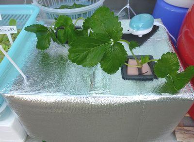 101002イチゴ植えつけ