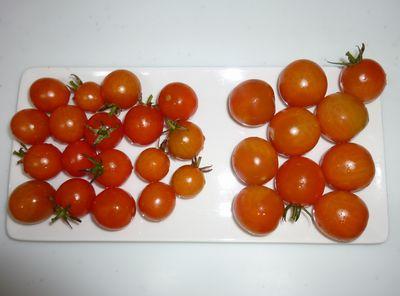 101229トマト収穫