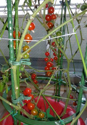 110102室内トマト