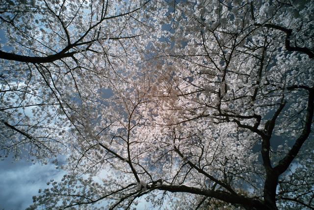100403_002_新宿御苑の花見
