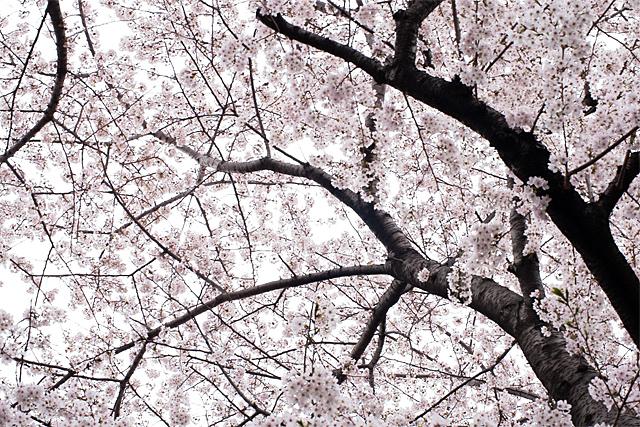 100404_001_石神井川の桜