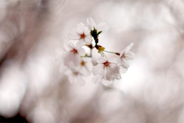100406_001_桜