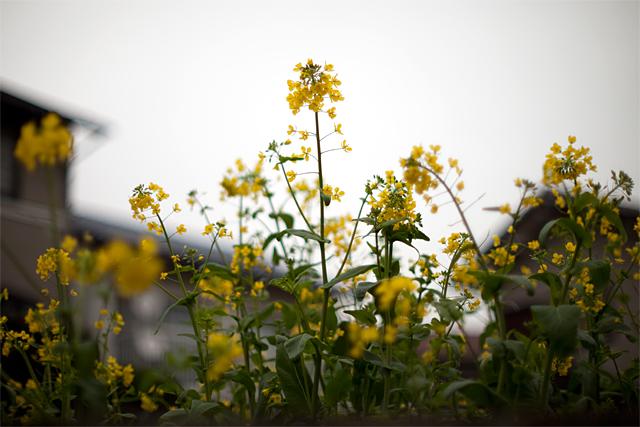 100407_001_菜の花