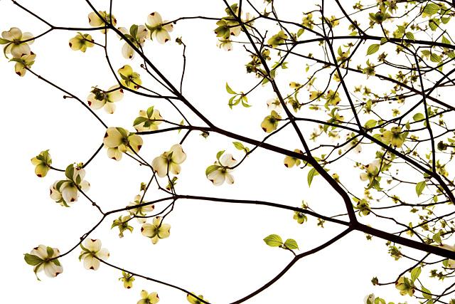 100429_001_昭和の日・花水木