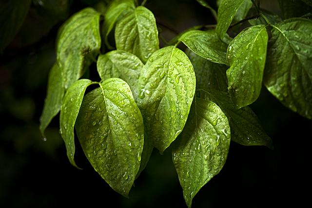 100523_001_雨の花水木