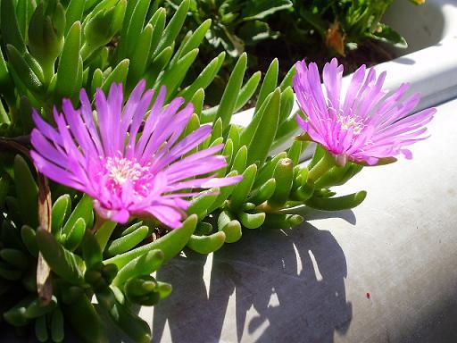 道端の花③