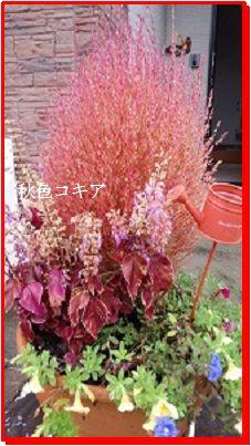 927秋色コキア ブログ