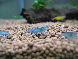 青いヌマエビ