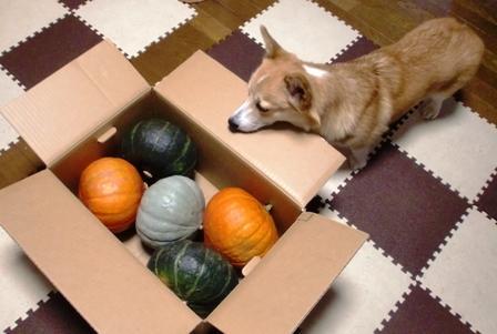 10月かぼちゃ 1