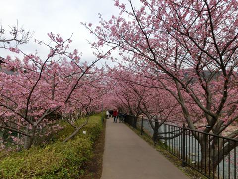 桜のトンネル130303