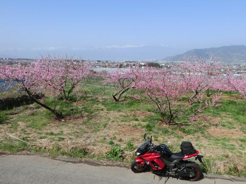桃の花0405-11