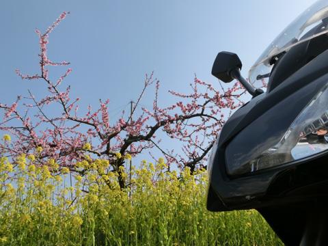 桃の花0405-1