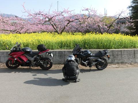 桃の花0405-3