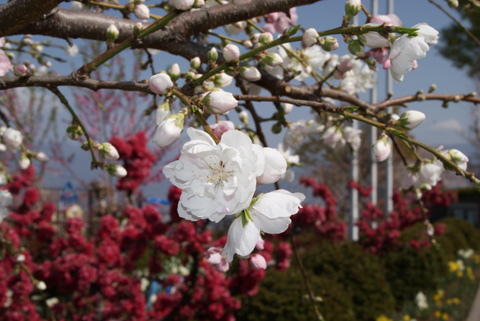 桃の花0405-10