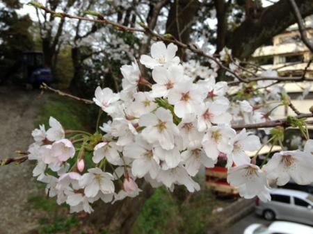 城崎温泉 桜(サクラ)情報。「満開近し!」(2013.第二弾)