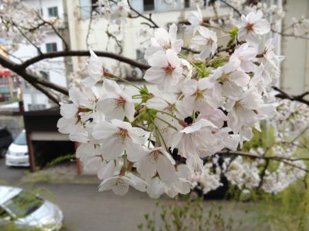 城崎温泉 桜(サクラ)情報。「見ごろ満開です!」(2013.第三弾)
