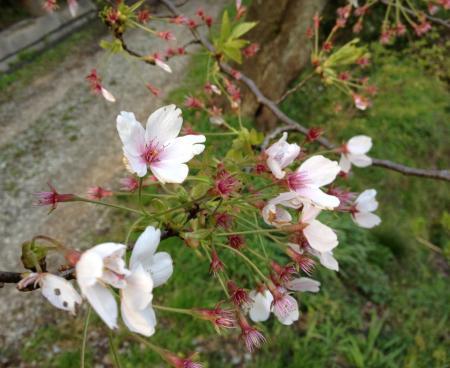 城崎温泉 桜(サクラ)情報。「七分葉桜」(2013.第四弾)
