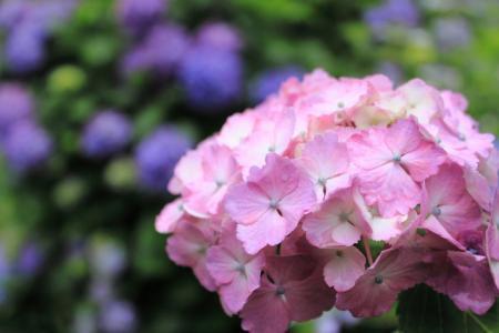 紫陽花(あじさい)の季節到来