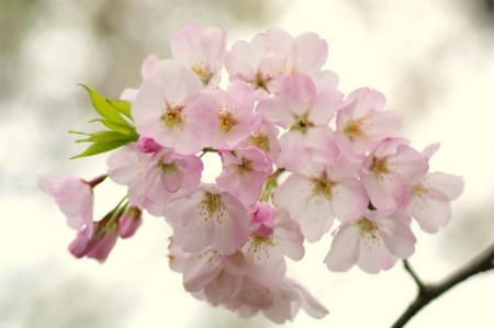 城崎温泉 桜(サクラ)情報。(2013.第一弾)