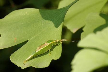日本に帰化した昆虫