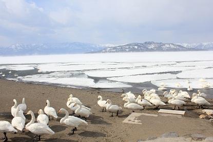 屈斜路湖の白鳥たち
