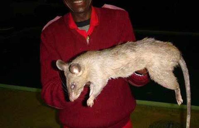 巨大ネズミ