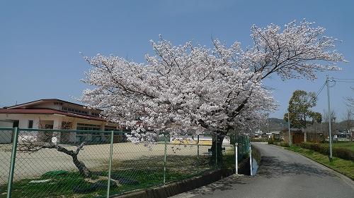 20130330 保育園の桜 02