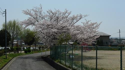 20130330 保育園の桜 01
